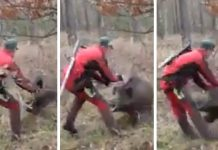 jabalí ataca cazador
