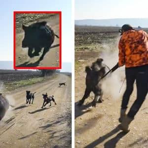 Un jabalí furioso ataca a un cazador que no puede disparar para no dar a sus perros