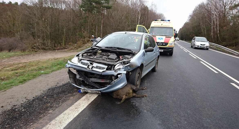 Dos policías acuden a un accidente de tráfico con un jabalí, el animal les ataca y lo abaten