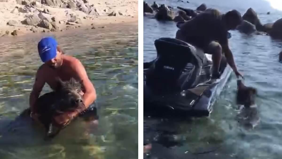 Graban a un jabalí bañándose en el mar y a dos individuos tocándolo y agarrándolo