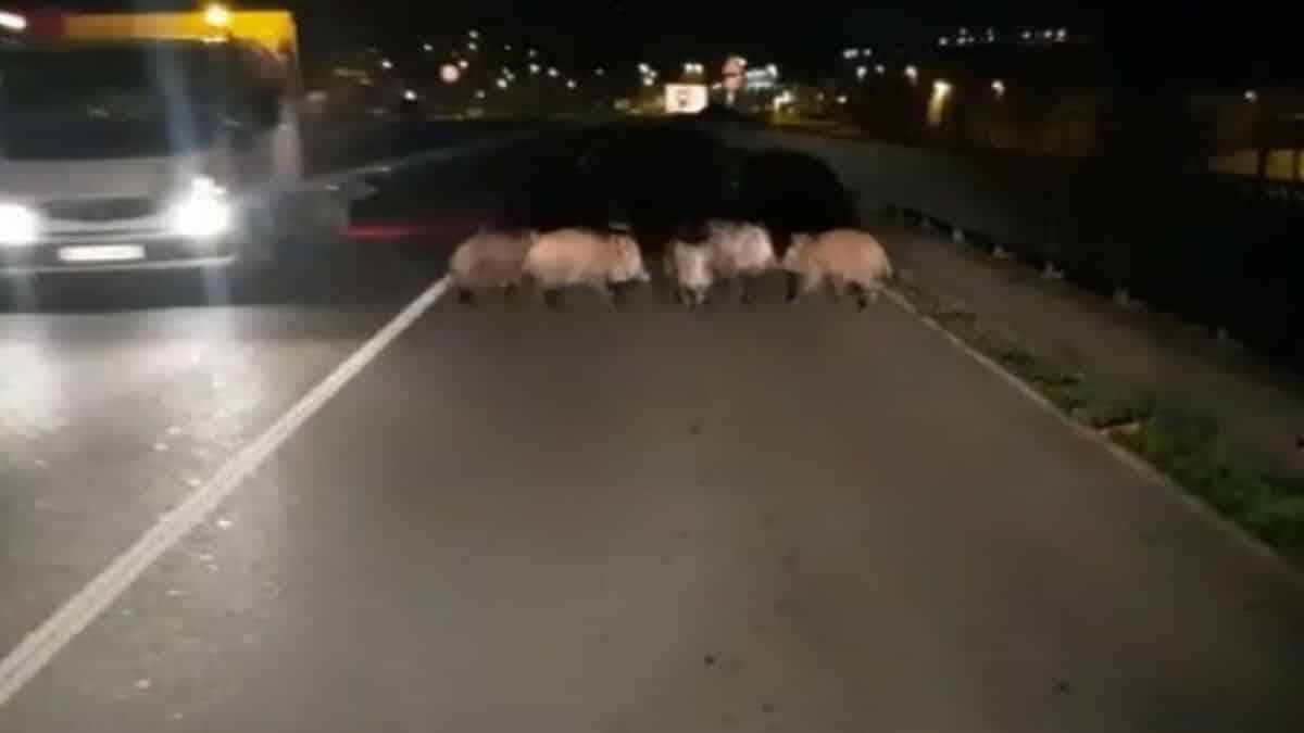Graban a una piara de jabalíes cruzando por un polígono en Asturias