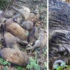 La misteriosa aparición de casi 300 jabalíes muertos y una fosa común que nadie se explica