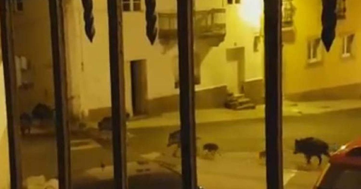Graban una piara de más de veinte jabalíes deambulando por Ferrol