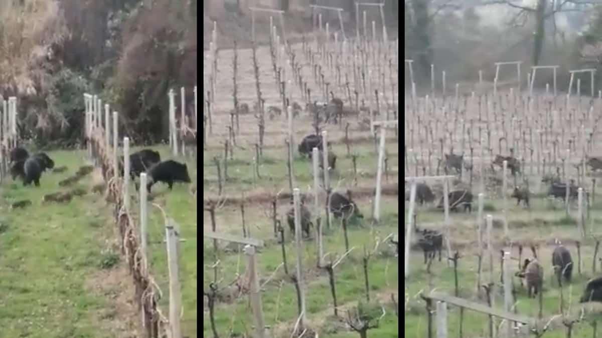 Graban a una piara de jabalíes arrasando un viñedo