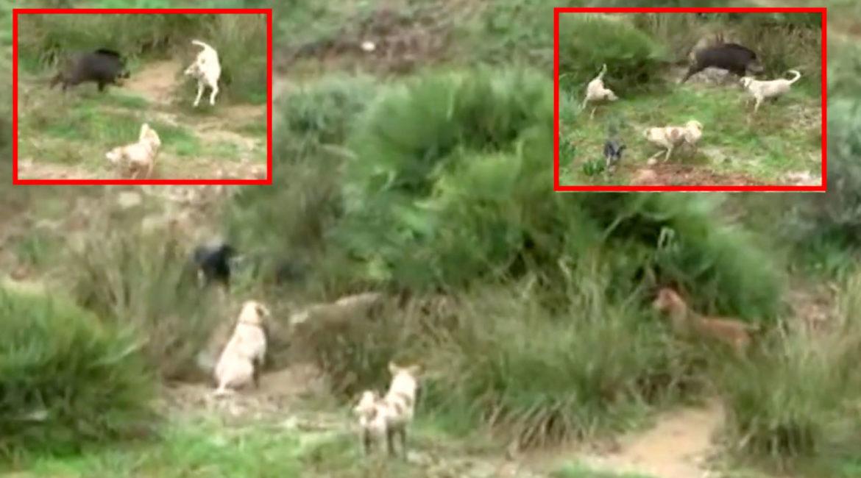 Increíble hazaña de un jabalí acorralado por seis perros de caza