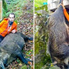 Caza el jabalí más grande que se recuerda en la Reserva del Saja: una mol de 141 kilos