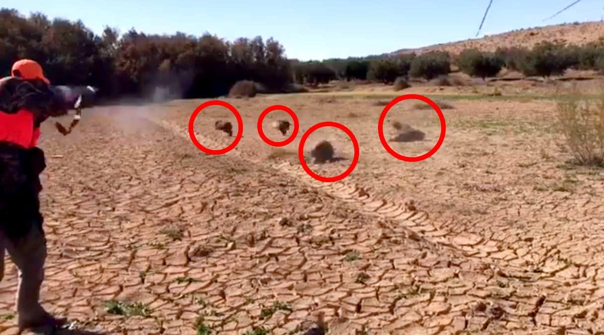 Un cazador abate cuatro jabalíes en 10 segundos con una escopeta