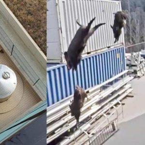 Una piara de jabalíes se tira al vacío desde el tejado de una fábrica en Gerona
