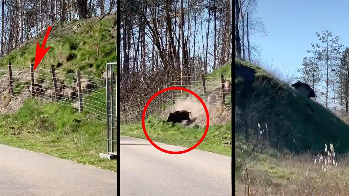 Una piara de jabalíes queda atrapada tras una valla y ¡mira lo que hacen!