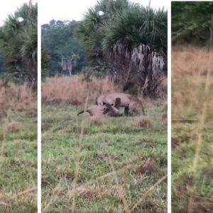 Dos cazadores graban esta impactante escena durante un aguardo de jabalí
