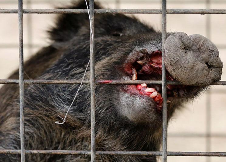 Un jabalí revienta una jaula trampa y hiere de gravedad a un cazador: «No sabía si iba a sobrevivir»