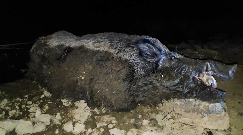 Caza un viejo jabalí de casi 150 kilos tras 7 noches de espera en Córdoba