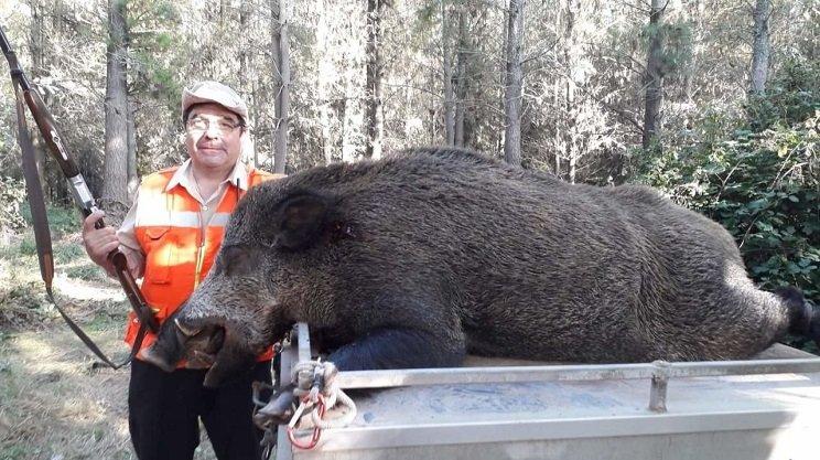 Cazan un 'superjabalí' de 150 kilos en una batida en Lugo