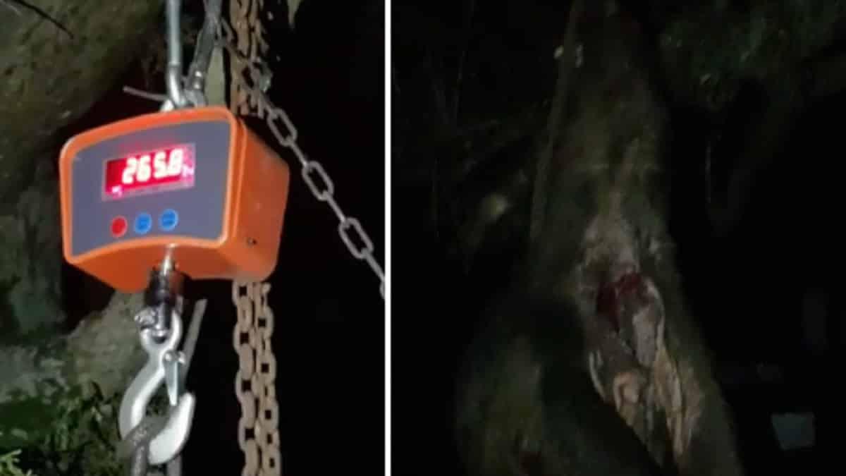 Cazan un titánico jabalí de 266 kilos y graban su pesaje «por si hay alguien que no se lo cree»