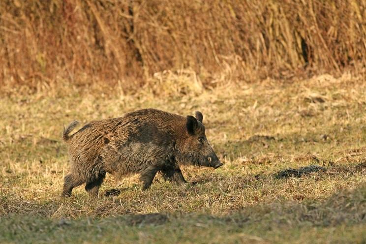 El jabalí se podrá cazar en Castilla-La Mancha del 1 de junio al 21 de febrero