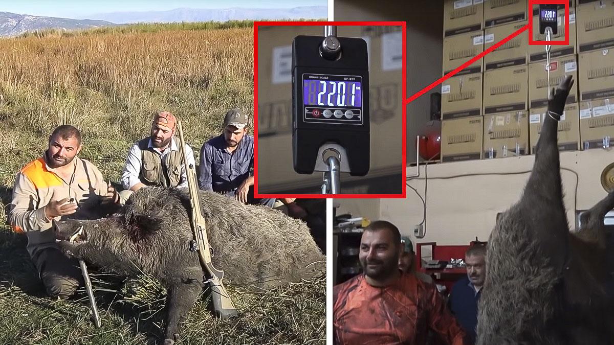 Graban cómo cazan un mastodóntico jabalí de 220 kilos