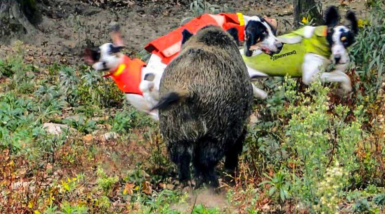 Chaleco de protección para perros: la mejor defensa contra el jabalí y el lobo
