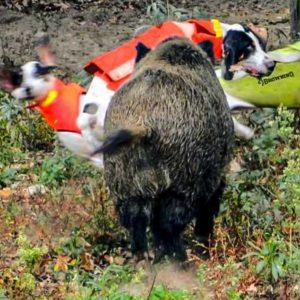 Un jabalí lanza por los aires a un perro de caza y el chaleco lo salva