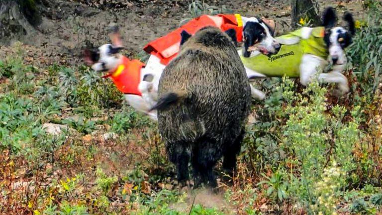 chaleco perro de caza jabali