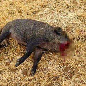 ¿De qué ha muerto este jabalí? La enigmática foto hecha por un cazador