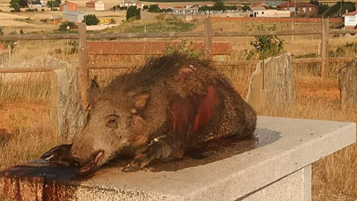 Aparece un jabalí muerto sobre la mesa del mirador de un pueblo de León