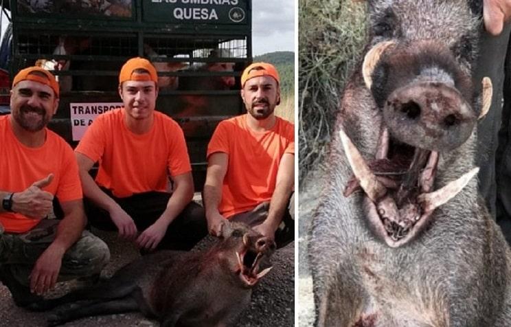 Caza a cuchillo un jabalí de 40 kilos con unos monstruosos colmillos