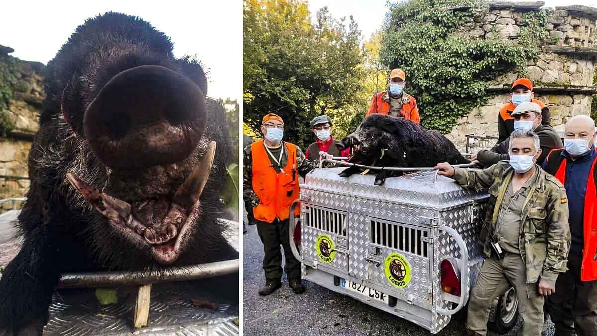 Cazan un gran jabalí de 120 kilos tras un peligroso agarre en Orense