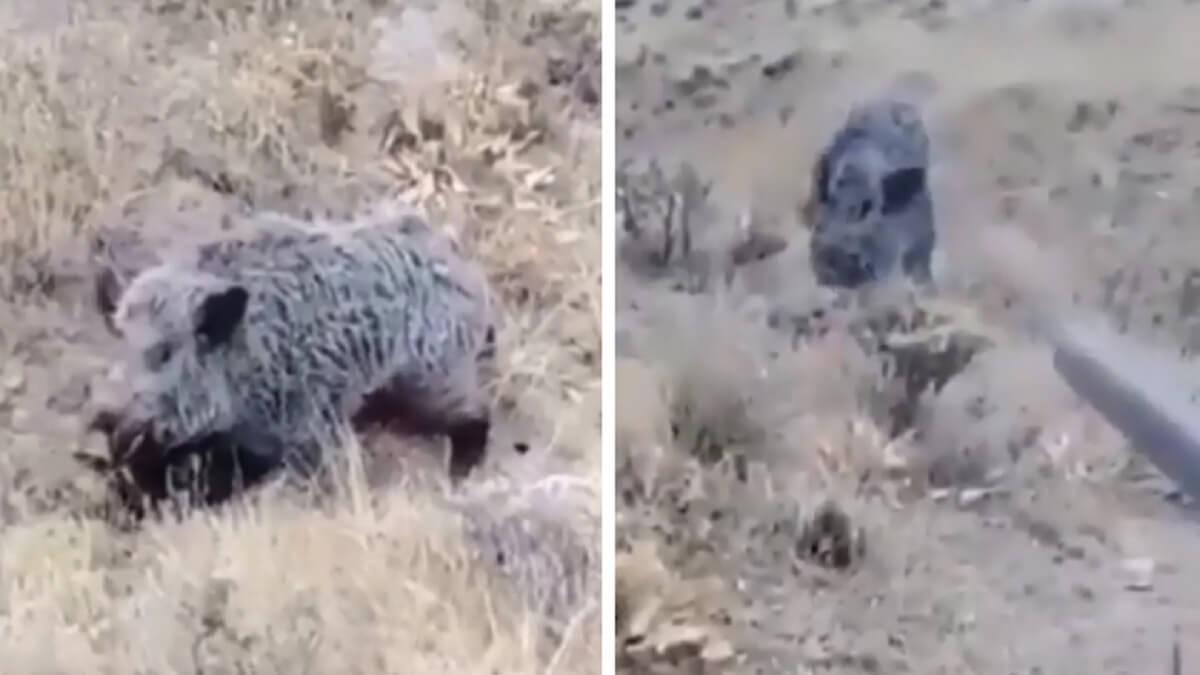 Un cazador se acerca a este enorme jabalí herido y se lleva un susto de muerte