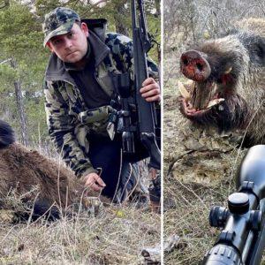 Rececha una piara de jabalíes en Guadalajara y caza este imponente macho