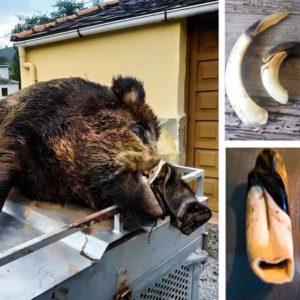 Cazan este gigantesco jabalí en Asturias: «La romana de 130 kilos se quedó pequeña»
