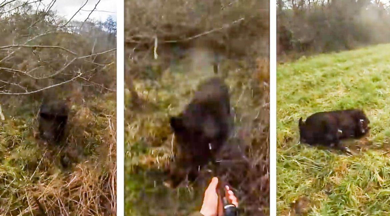 Un jabalí de 137 kilos sorprende a un cazador y lo ataca en un lance de infarto