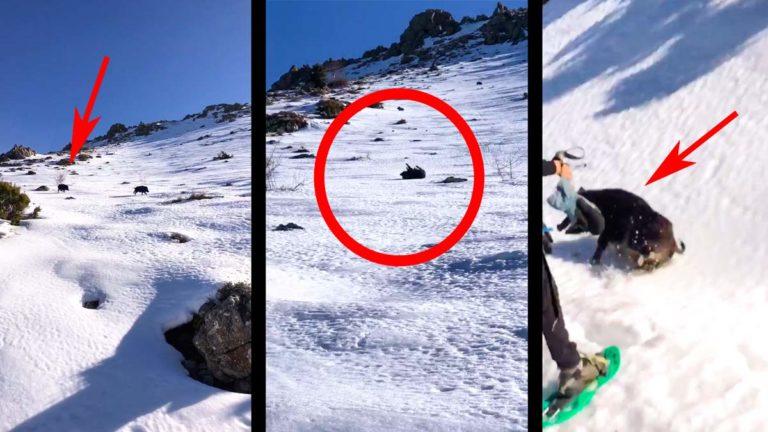 jabalí nieve ataca