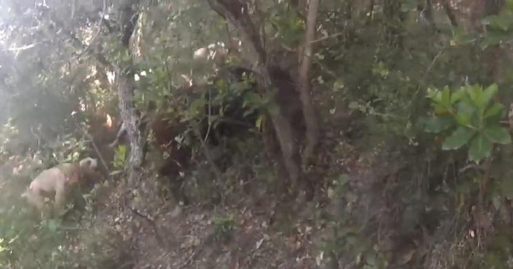 jabali ataca a rehalero