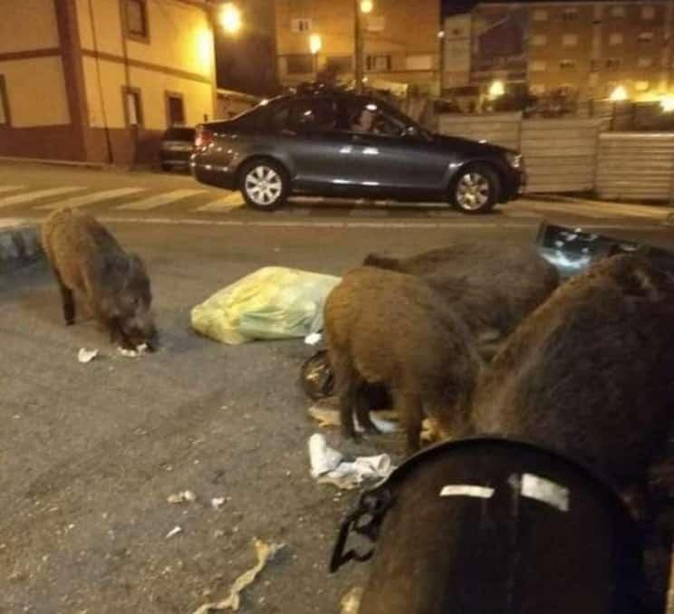 Tres jabalíes persiguen a un adolescente en pleno casco urbano