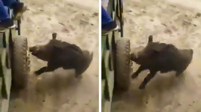 Un jabalí sorprende a un agricultor y protagoniza este escalofriante ataque