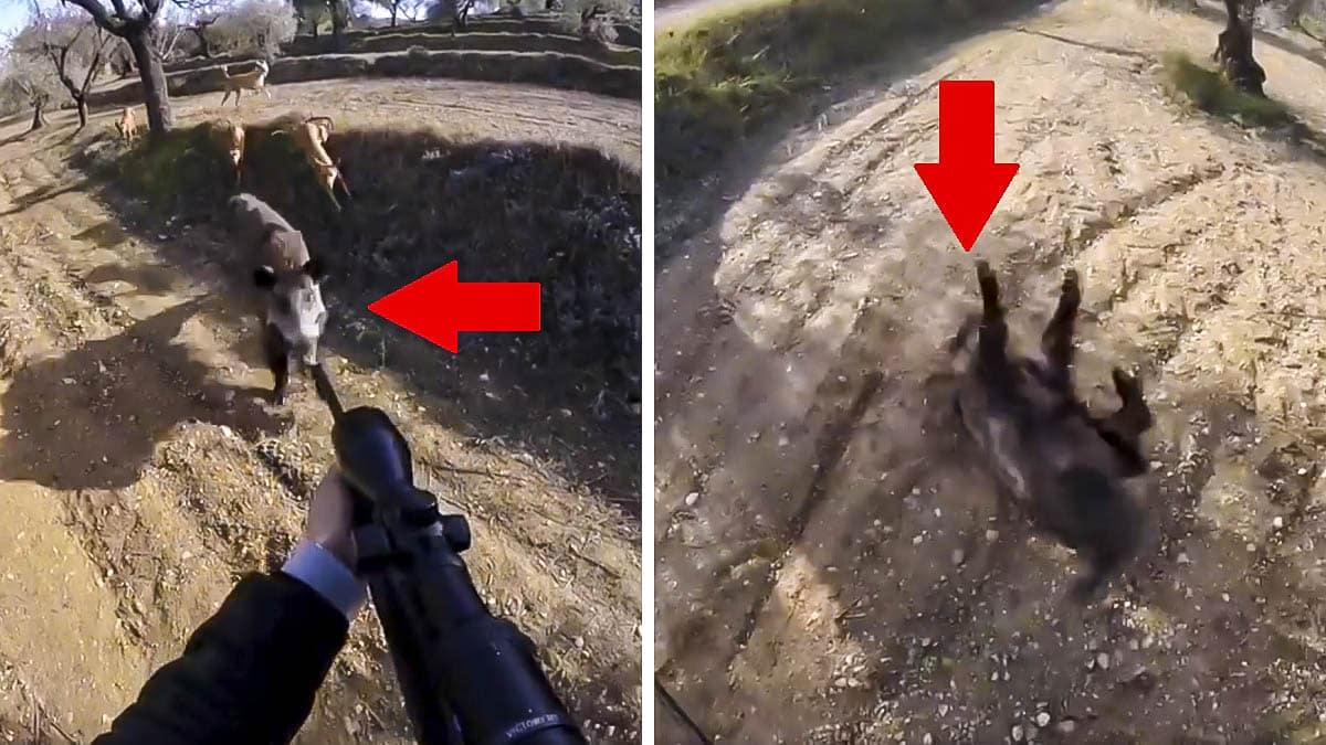 Un jabalí rodeado de perros ataca a un cazador y está a punto de provocar una tragedia
