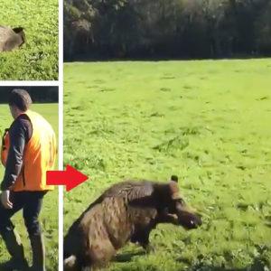 Un jabalí recién abatido 'resucita' y ataca a un cazador en Galicia