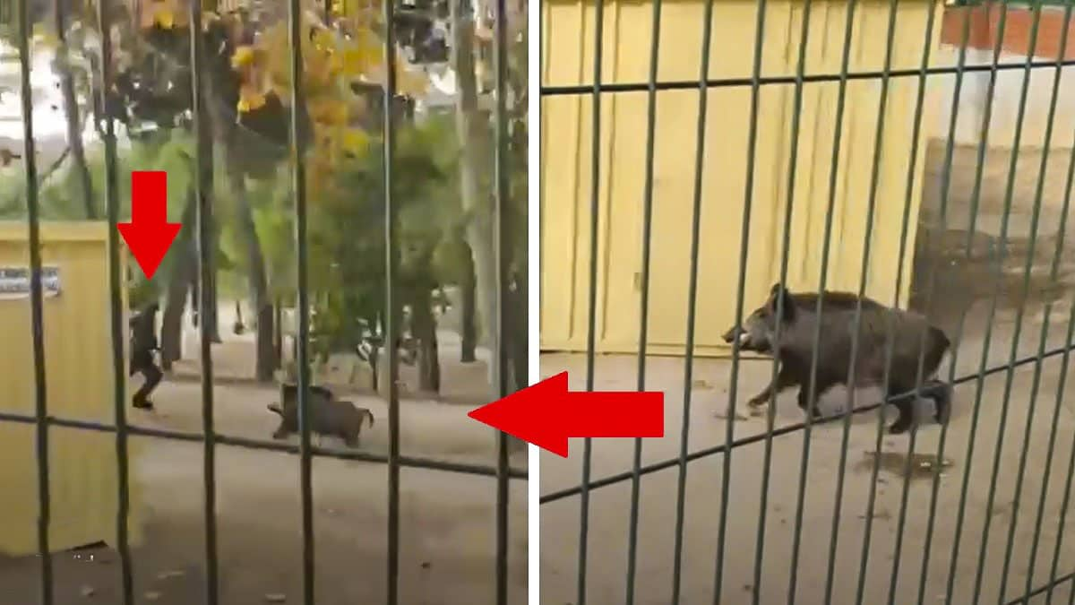 Un jabalí ataca a un guardia civil en un parque de un pueblo de Huesca