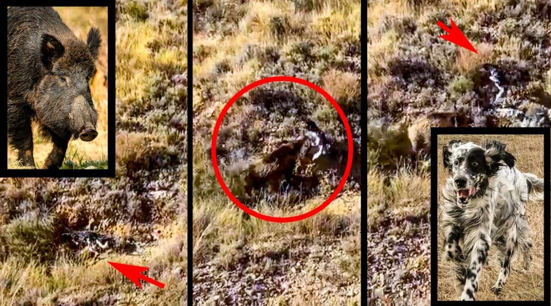 Un agresivo jabalí lanza por los aires a un perro de muestra que cazaba perdices