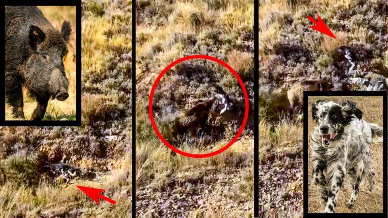 Varios instantes del vídeo en el que el jabalí ataca al perro de muestra. ©YouTube