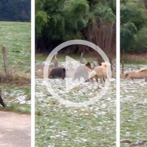¡Insólito! Dos ponis atacan a un agresivo jabalí que había embestido a un matrimonio