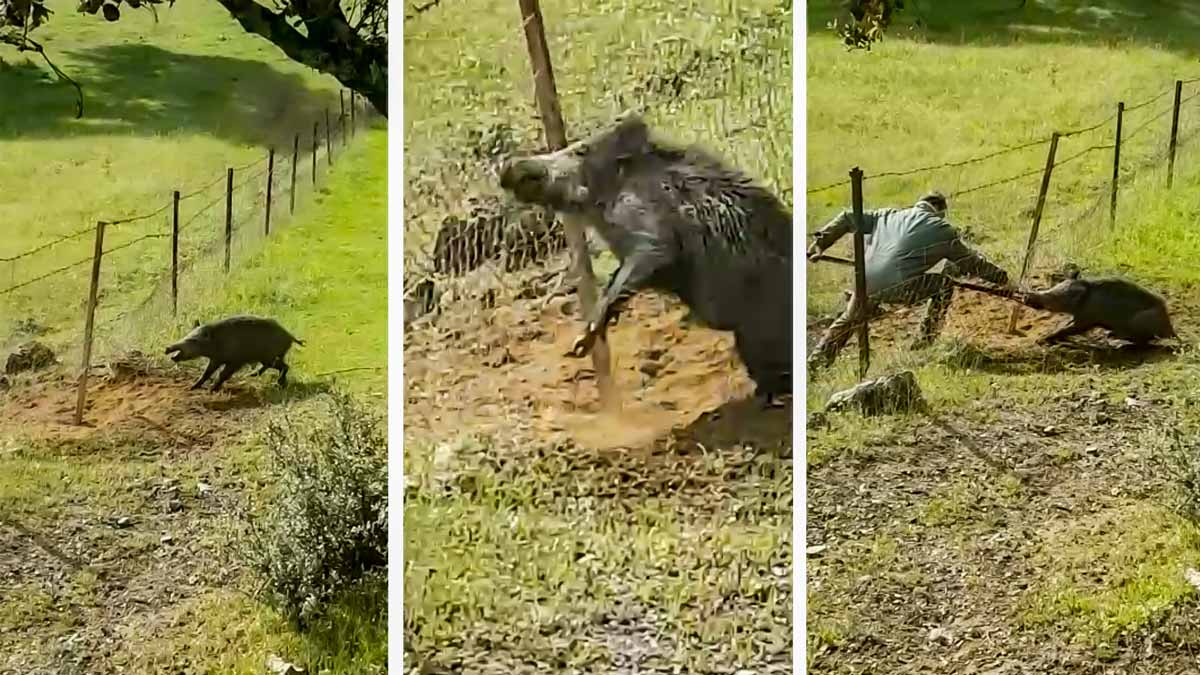 Un agricultor libera a un jabalí que estaba atrapado por el hocico en una alambrada