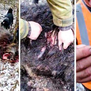 Estos cazadores quedan estupefactos al descubrir las terribles heridas de un titánico jabalí tras una pelea