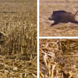 Un agricultor graba a un jabalí encamado, se acerca y encuentra esta sorpresa