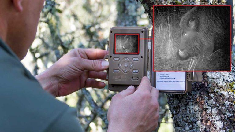 Un cazador coloca una cámara trampa Minox para fotografiar jabalíes.