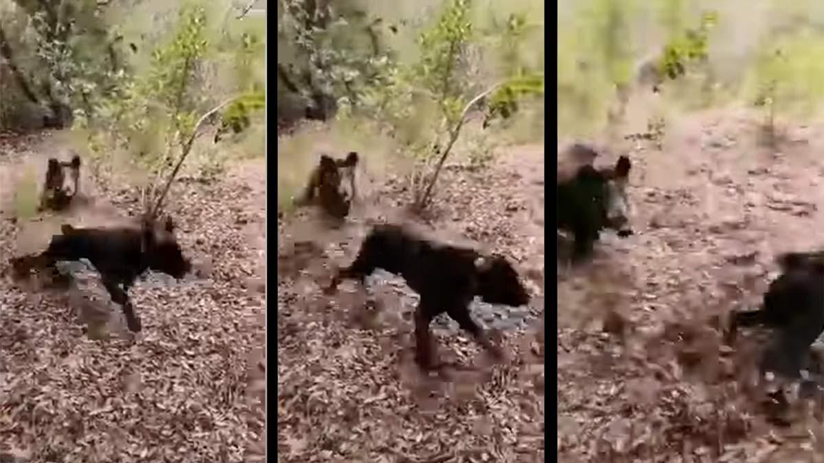 Insólito vídeo: Un jabalí intenta cazar a un perro