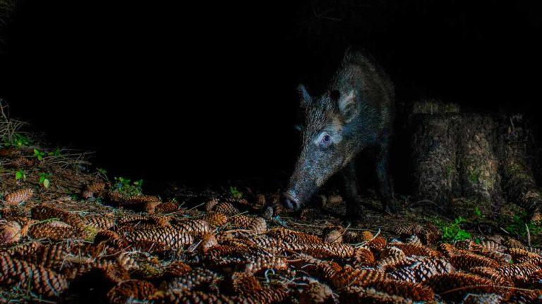 Un jabalí en la noche. ©Shutterstock
