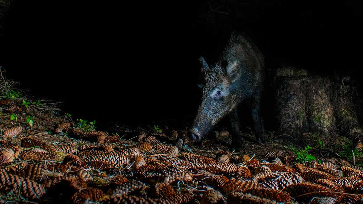 Los cazadores andaluces podrán circular de noche para realizar esperas de jabalí y control poblacional