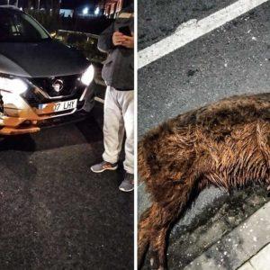 Estrella su coche nuevo contra un jabalí que venía de bañarse en Cáceres capital