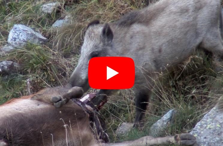 Cinco espectaculares vídeos que muestran la faceta carroñera del jabalí